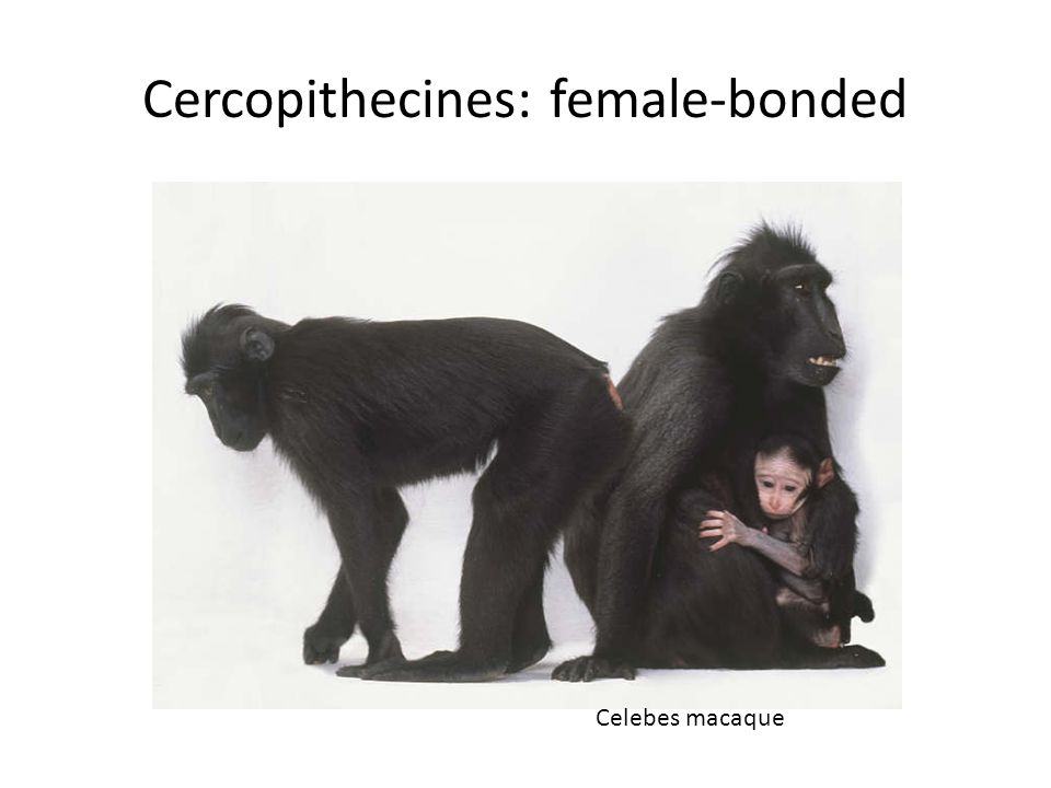 Cercopithecines: female-bonded Celebes macaque
