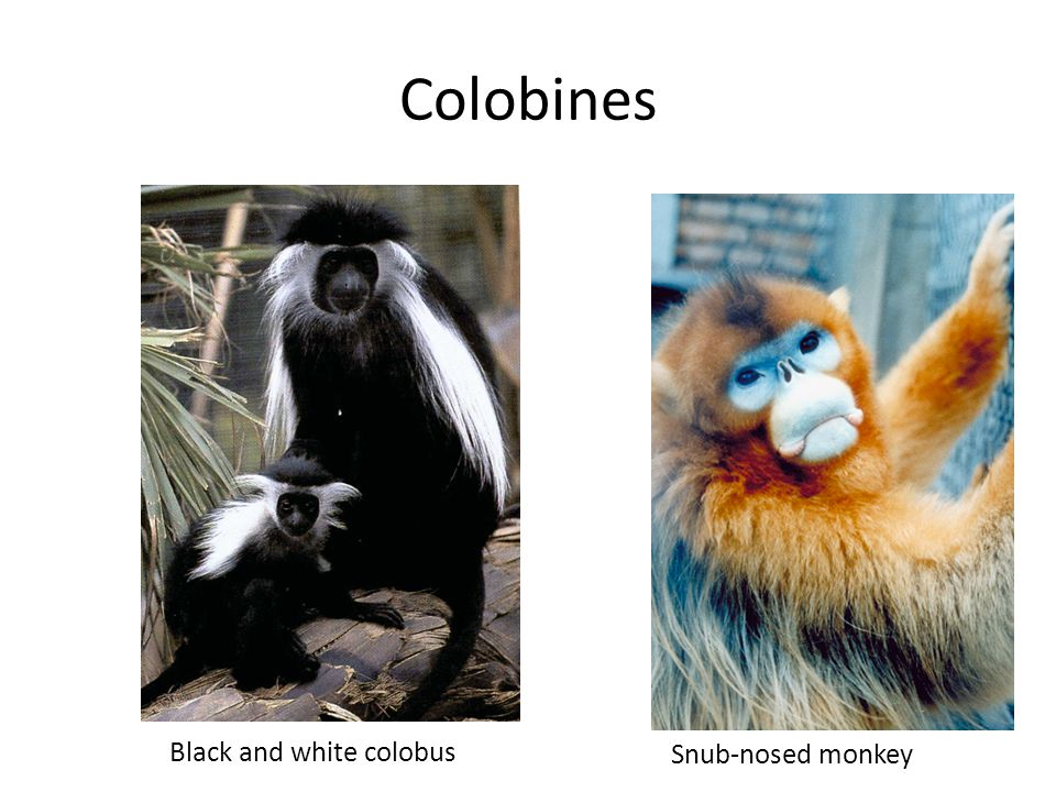 Colobines Black and white colobus Snub-nosed monkey