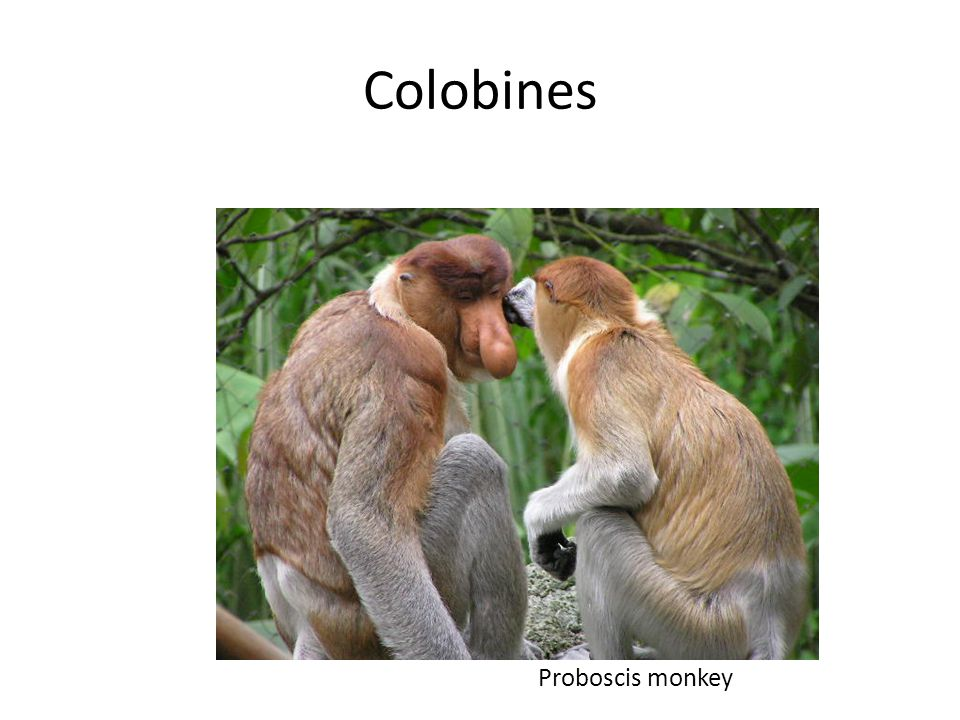 Colobines Proboscis monkey