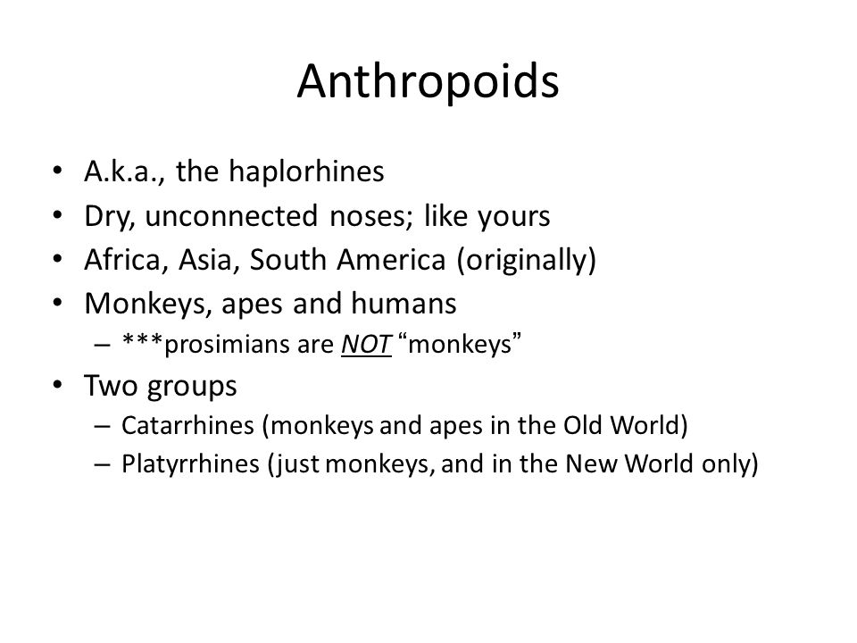 Anthropoids A.k.a., the haplorhines Dry, unconnected noses; like yours Africa, Asia, South America (originally) Monkeys, apes and humans – ***prosimia