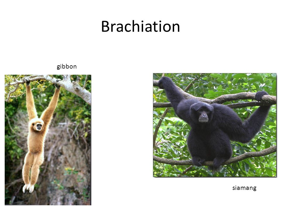 Brachiation gibbon siamang