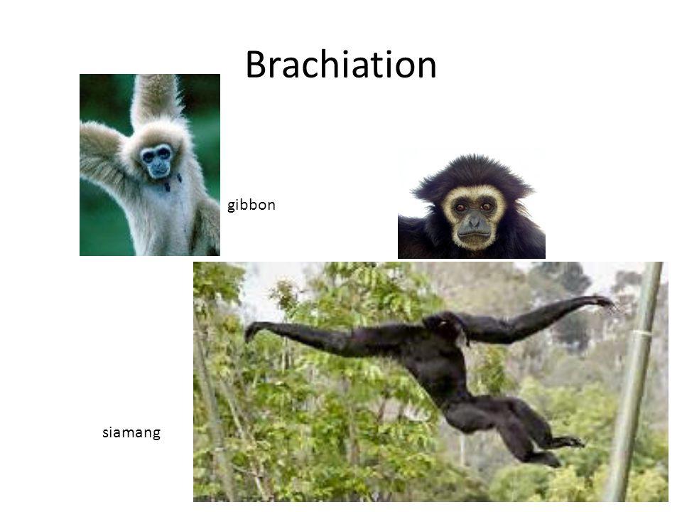 Brachiation gibbon siamang
