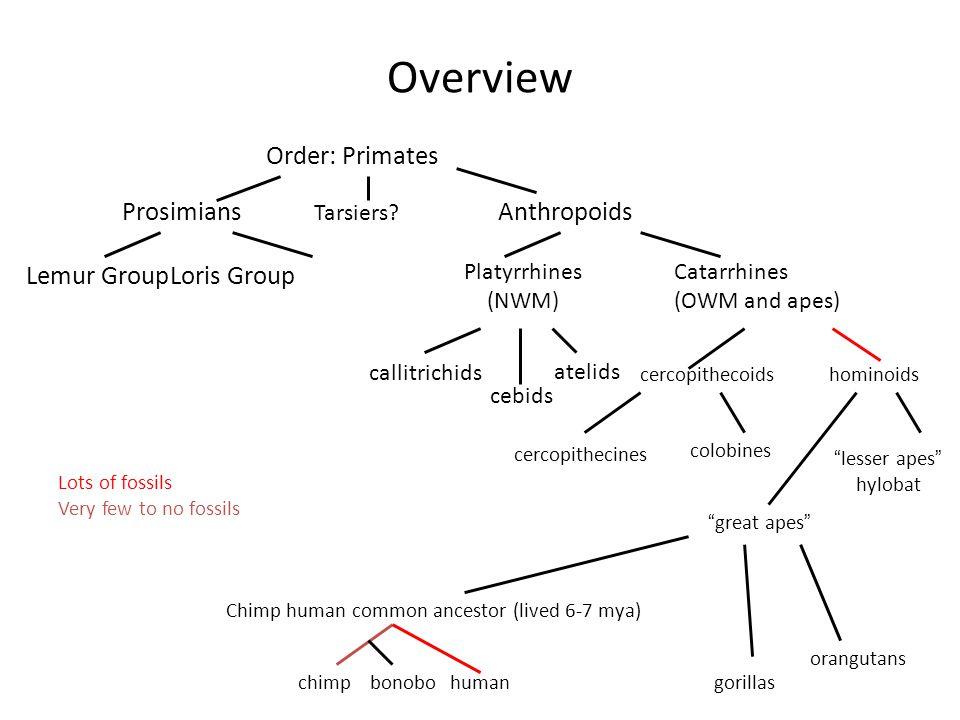 Overview Order: Primates ProsimiansAnthropoids Lemur GroupLoris Group Tarsiers.