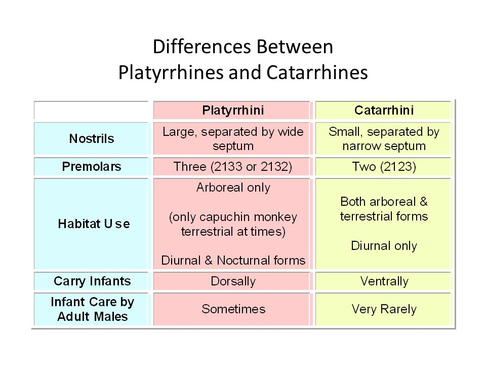 Differences Between Platyrrhines and Catarrhines