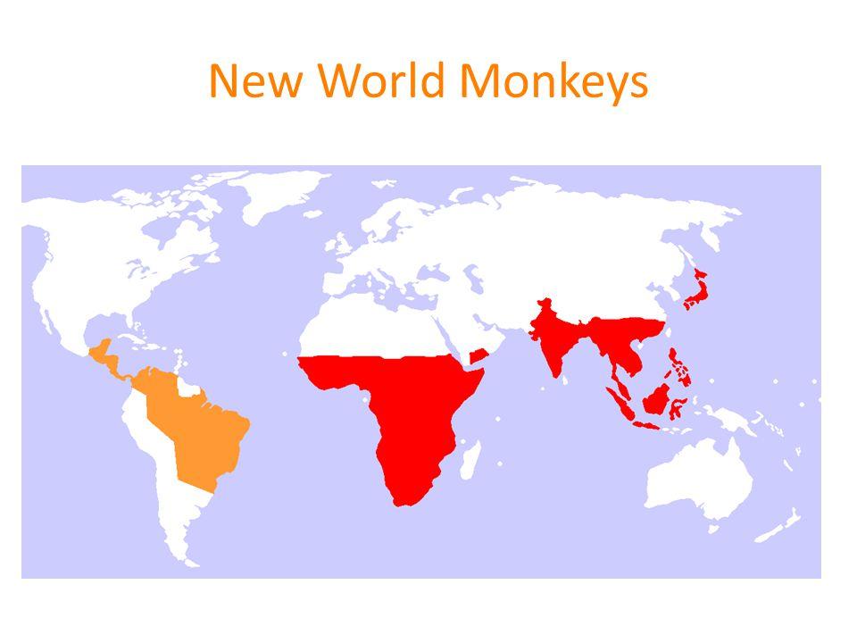 Ceboidea FamilySubfamilyCommon NamesBody sizeGeneral Social Pattern Some Special Features Cebidae Squirrel monkey _______________ Capuchin monkey Small _________ Medium Large, multi-male, multi-female groups - strictly seasonal breeding _______________________ - large brain - tool use -adaptable & resourceful (like Old World macaques) - weakly prehensile tail Callitrichidae tamarins, marmosets smallpolyandry twins, high paternal investment, reproductive suppression AtelidaePithecinaeUakaris & SakisMediumSocially monogamous Other.
