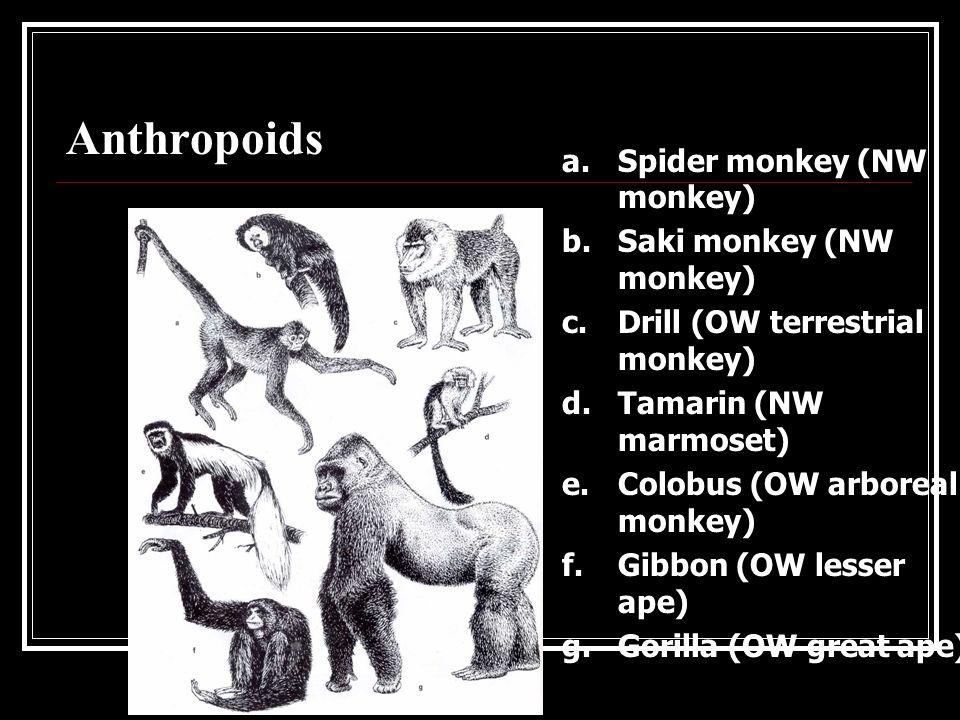 Prosimians a.Fat-tailed galago (mainland Africa) b.Ruffed lemur (Madagascar) c.Sifaka (Madagascar) d.Ring-tailed lemur (Madagascar) e.Mouse lemur (Madagascar) f.Slow loris (South Asia) g.Aye-aye (Islands off Madagascar)