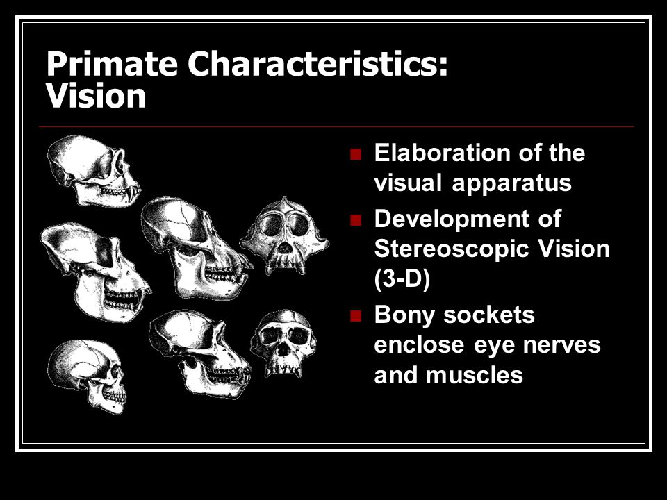 Primate Characteristics: Brain size & Smell * Progressive shortening of the snout and reduction in the sense of smell * Progressive expansion and elab
