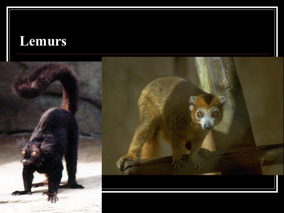 Lemurs, Tarsiers, Aye-Ayes, Lori