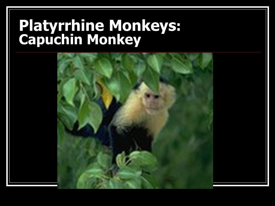 Platyrrhine Monkeys: Red-Howler & Spider Monkeys