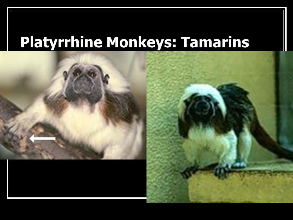 Platyrrhine Monkeys : Capuchin Monkey
