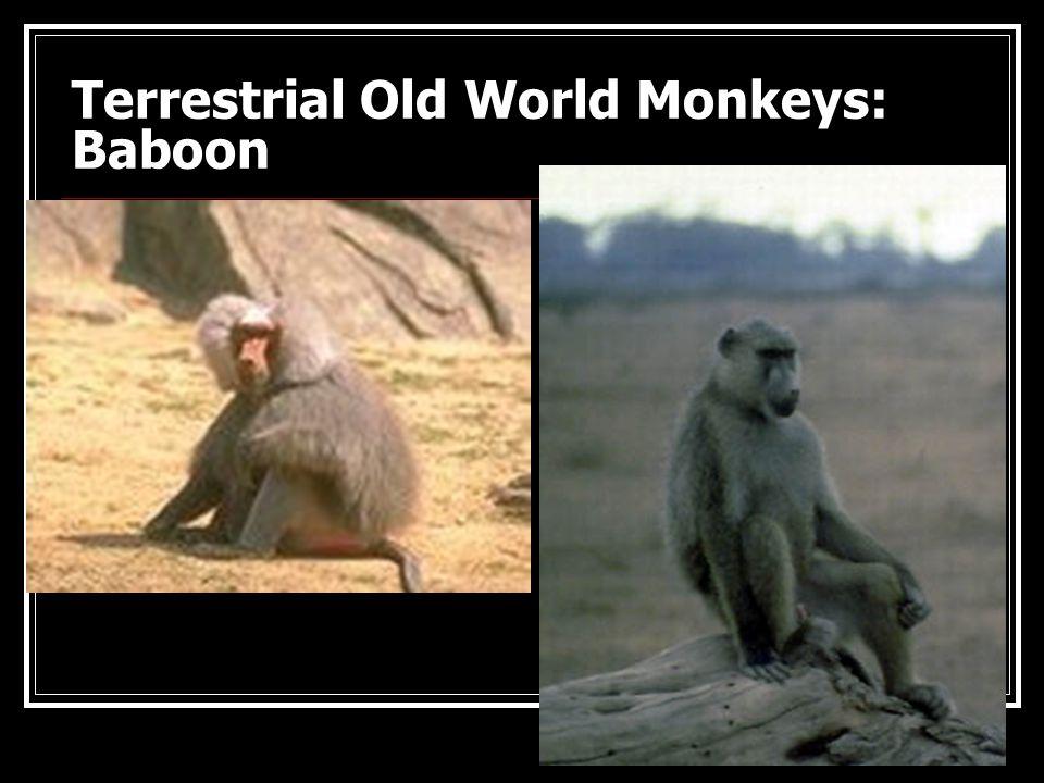 Catarrhine Monkeys: Mandrill and Diana