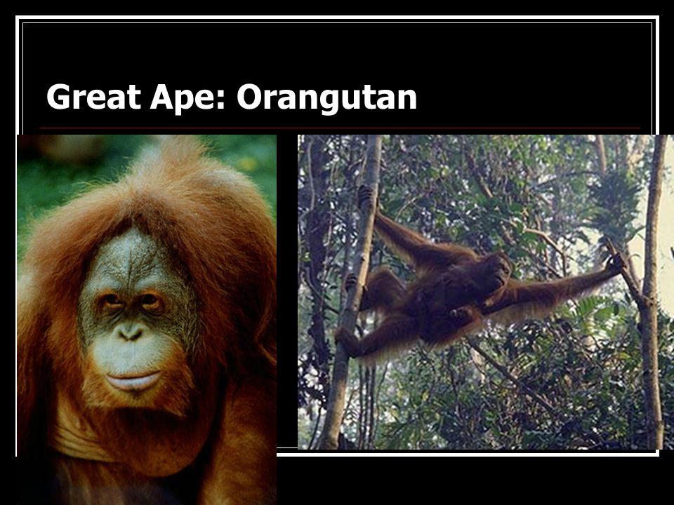 Lesser Ape: Gibbon