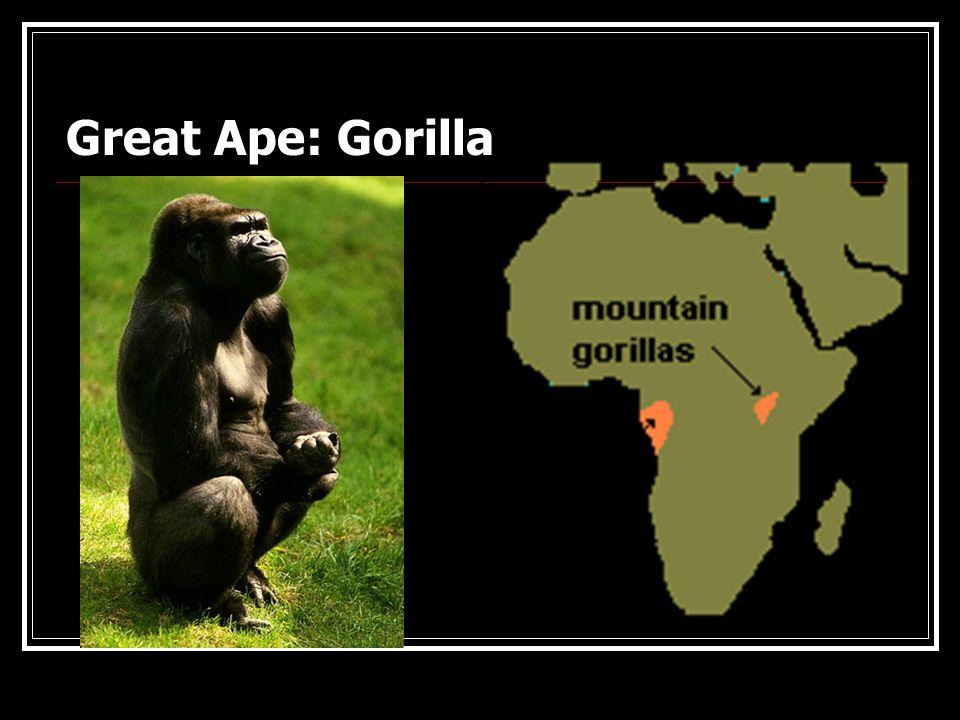Great Ape: Orangutan