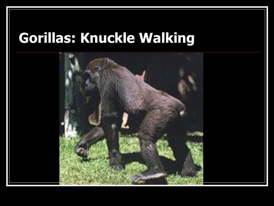 Great Ape: Gorilla