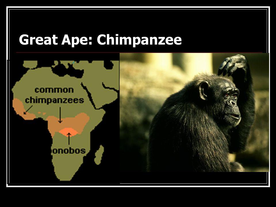Gorillas: Knuckle Walking