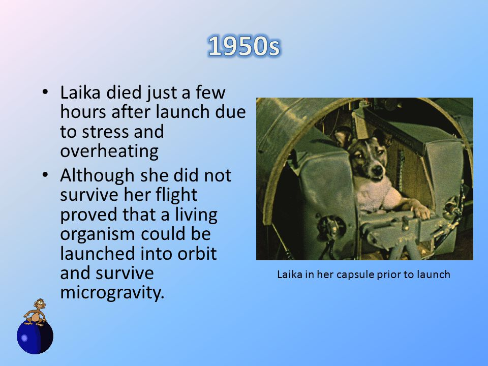 Laika died just a few hours after launch due to stress and overheating Although she did not survive her flight proved that a living organism could be launched into orbit and survive microgravity.