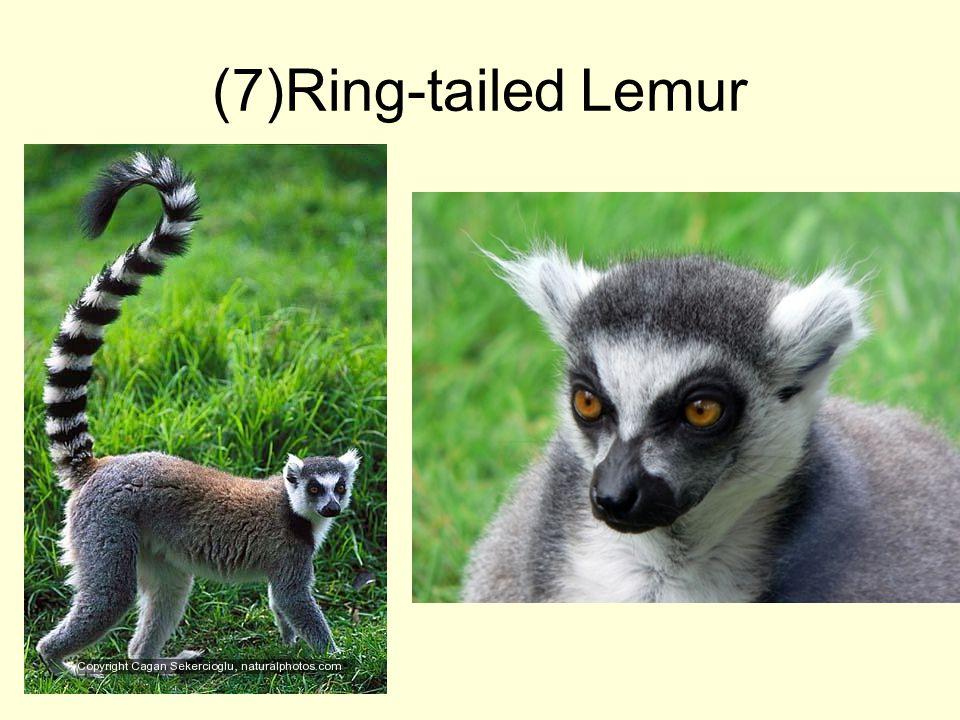 (7)Ring-tailed Lemur