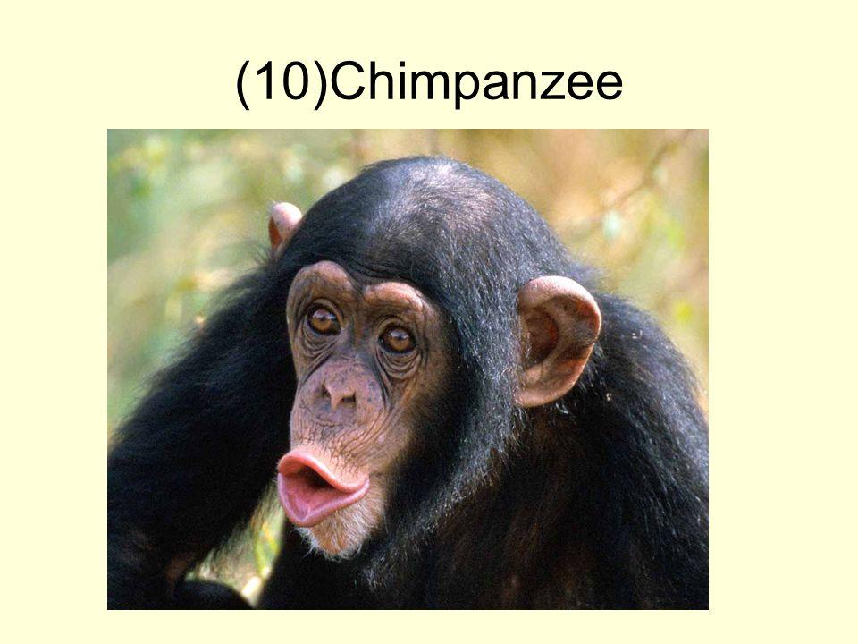 (10)Chimpanzee