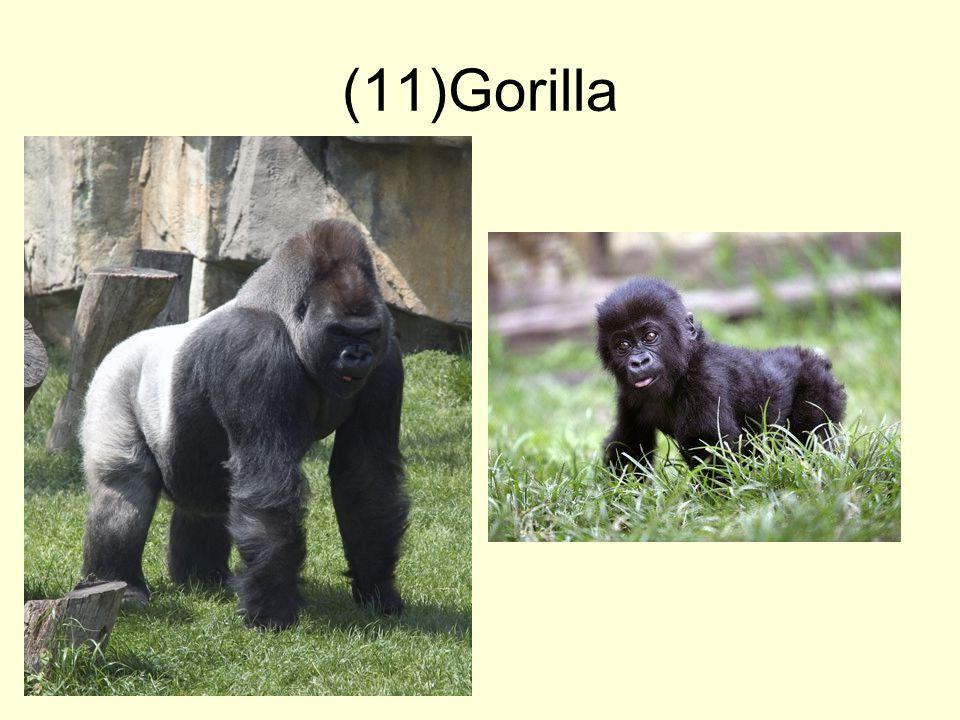 (11)Gorilla