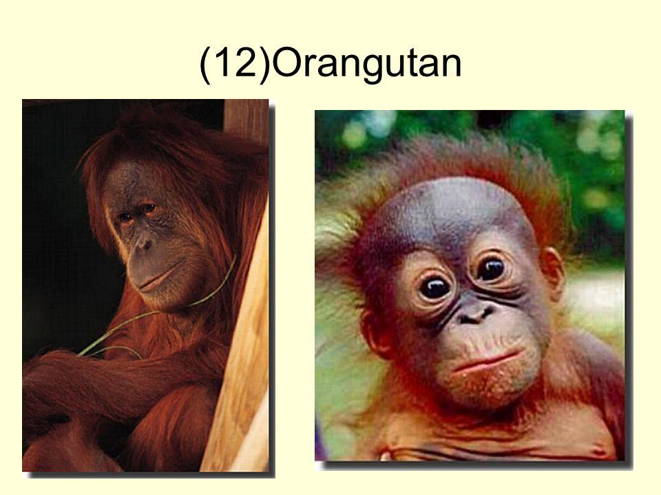 (12)Orangutan