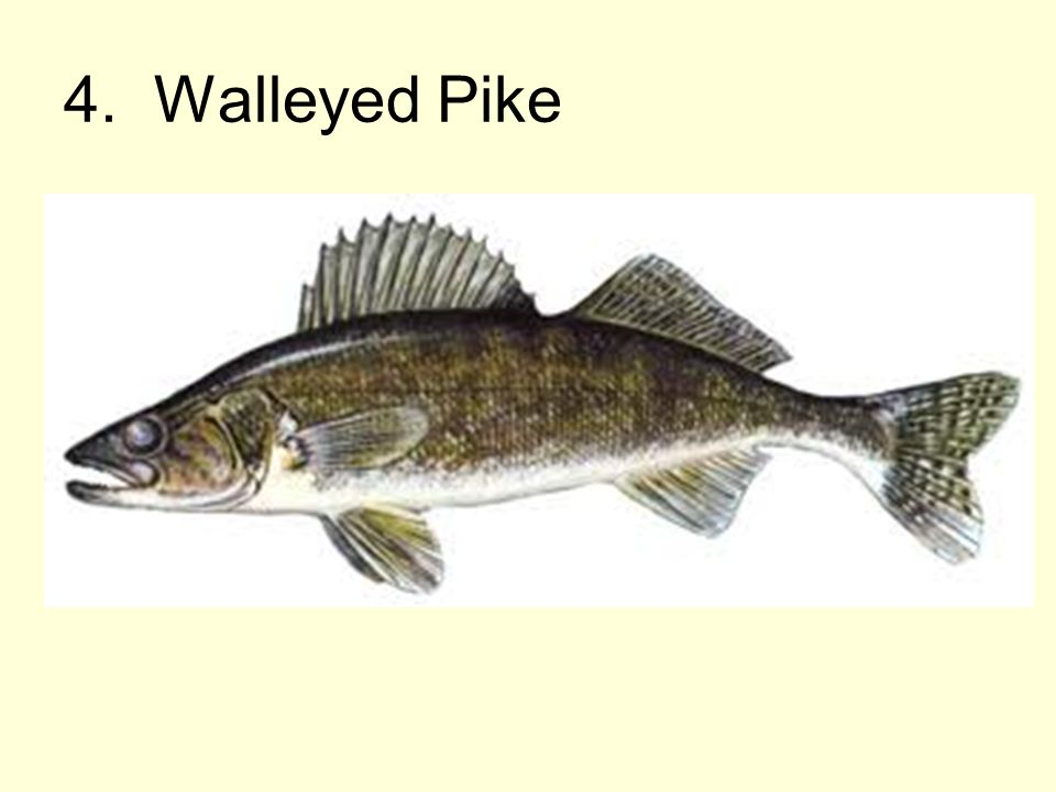 4. Walleyed Pike