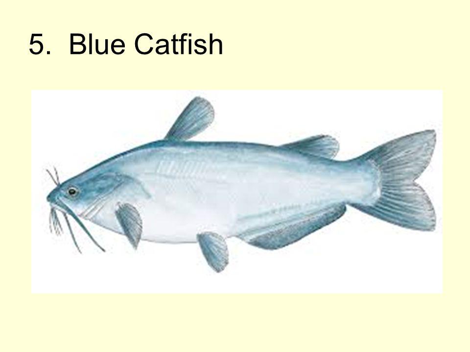 5. Blue Catfish
