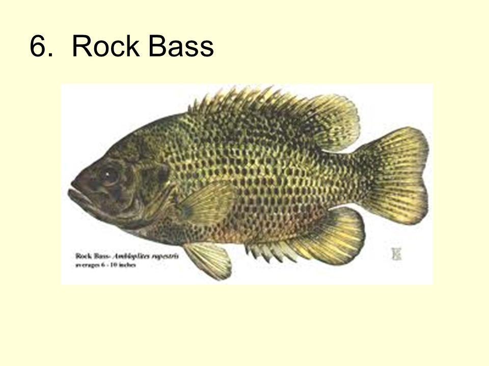 6. Rock Bass