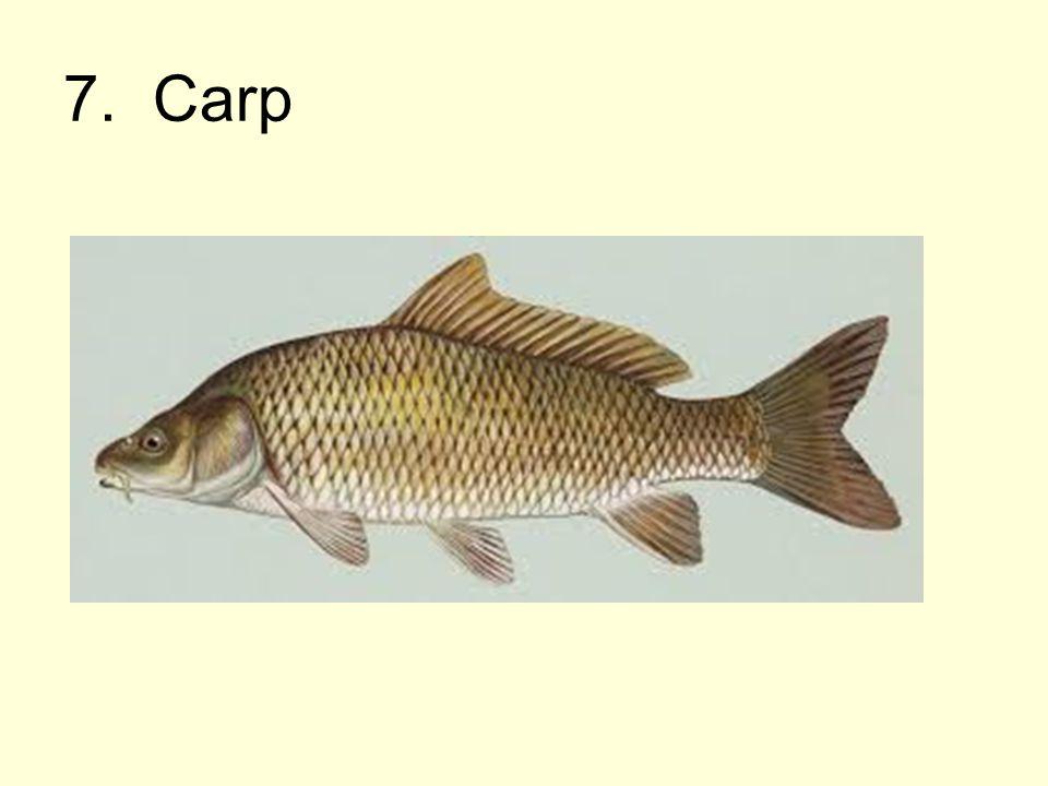 7. Carp