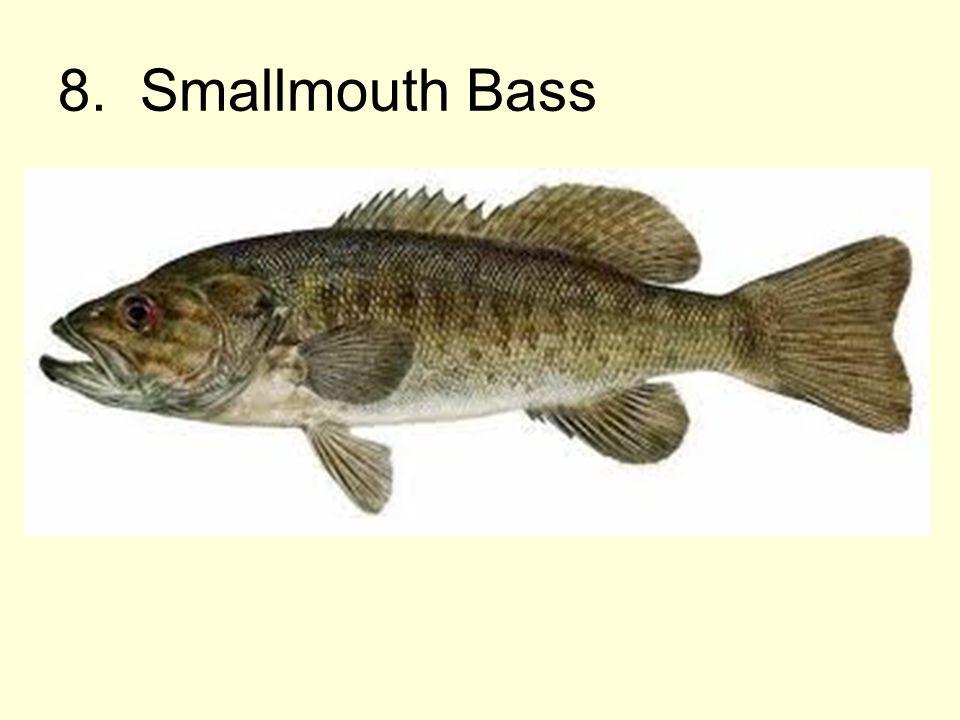 8. Smallmouth Bass