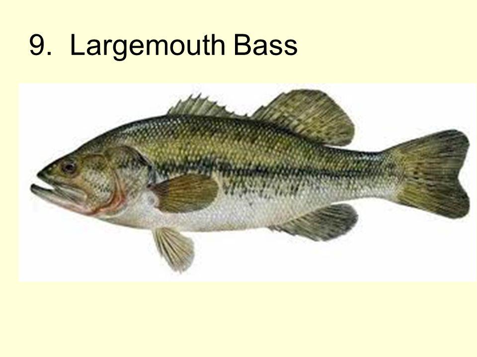 9. Largemouth Bass