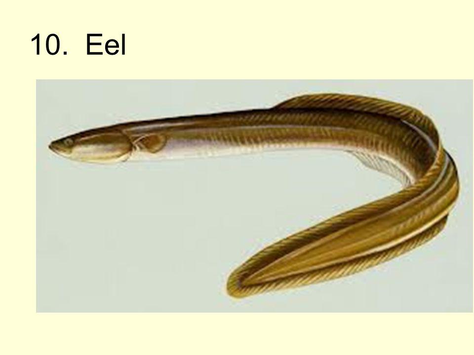 10. Eel