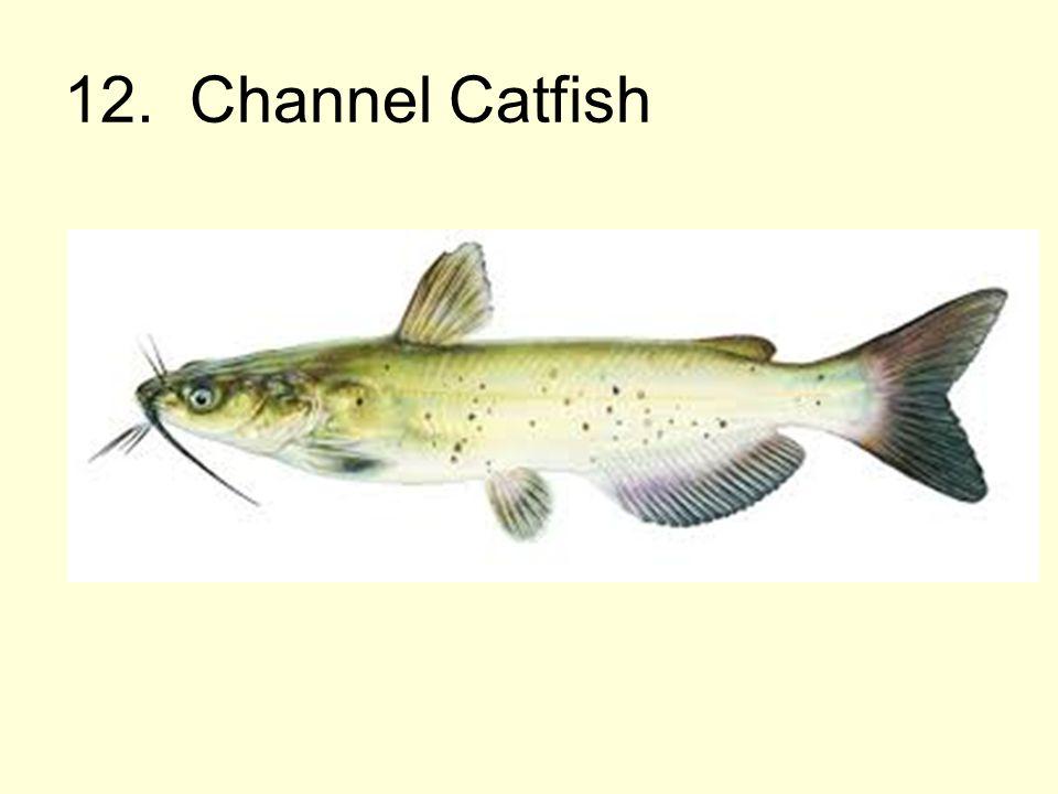 12. Channel Catfish