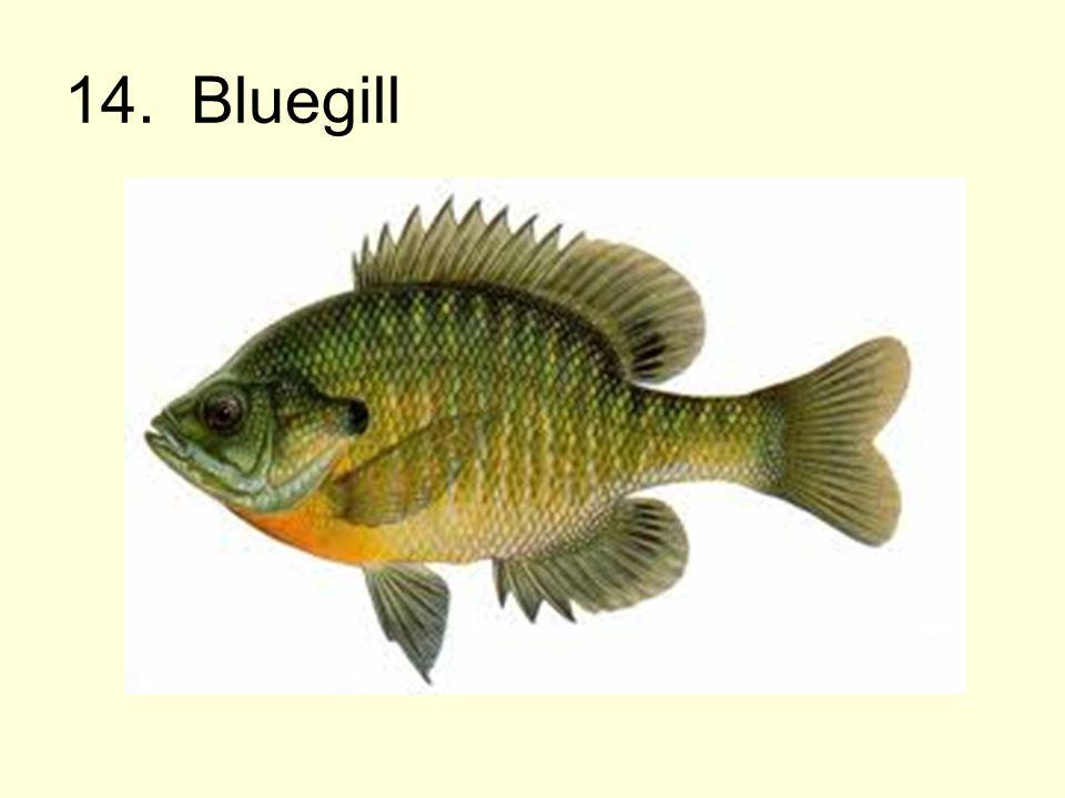 14. Bluegill
