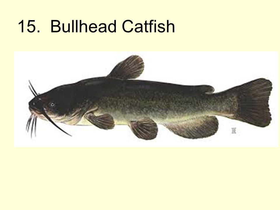 15. Bullhead Catfish