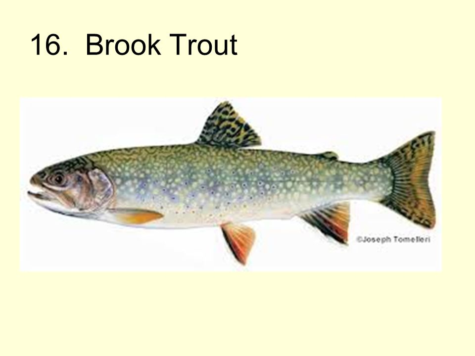 16. Brook Trout