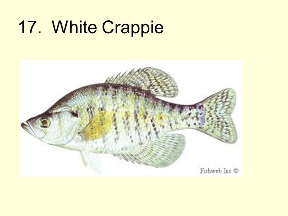 17. White Crappie