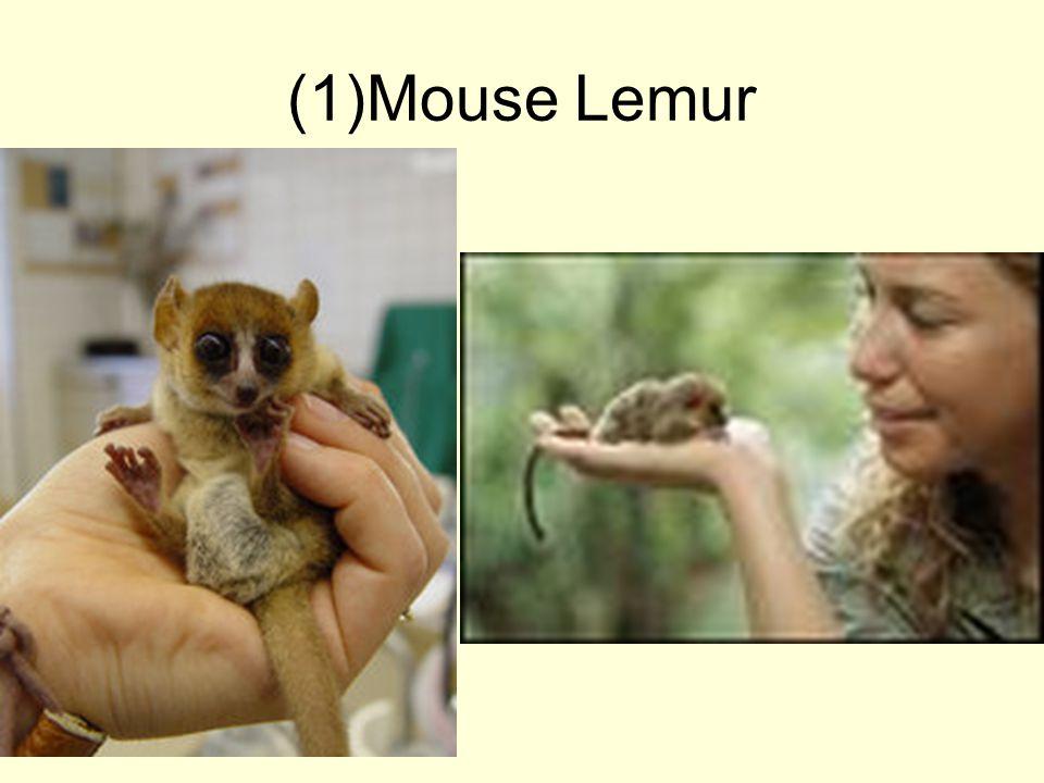 (1)Mouse Lemur