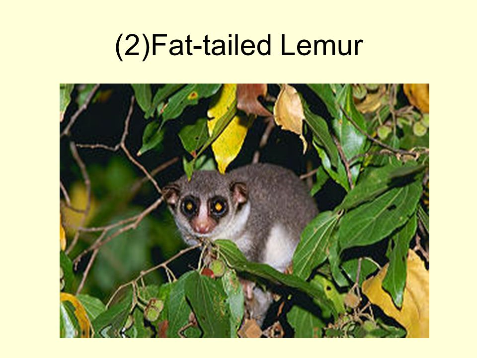 (2)Fat-tailed Lemur