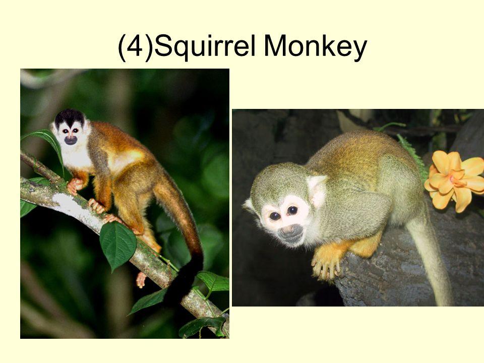 (4)Squirrel Monkey