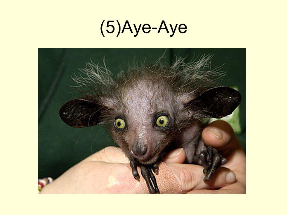 (5)Aye-Aye