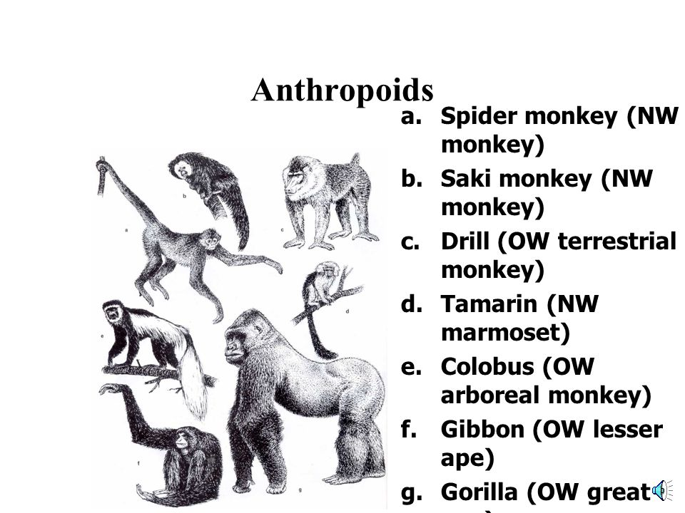 Prosimians a.Fat-tailed galago (mainland Africa) b.Ruffed lemur (Madagascar) c.Sifaka (Madagascar) d.Ring-tailed lemur (Madagascar) e.Mouse lemur (Madagascar) f.Slow loris (South Asia) g.Aye-aye (Islands off Madagascar)