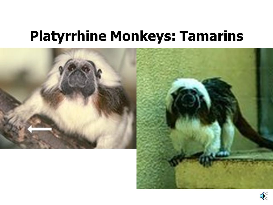 Platyrrhine Monkeys Platyrrhines Flat noses Nostrils point sideways Many have prehensile tails Live in South and Central America