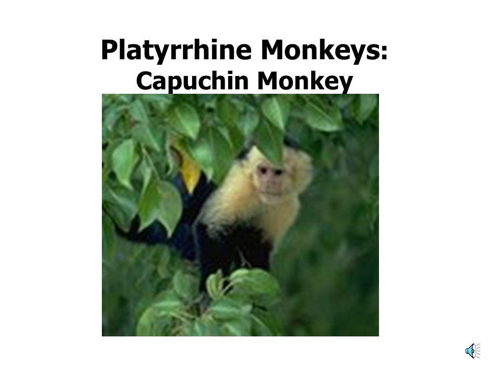 Platyrrhine Monkeys: Tamarins