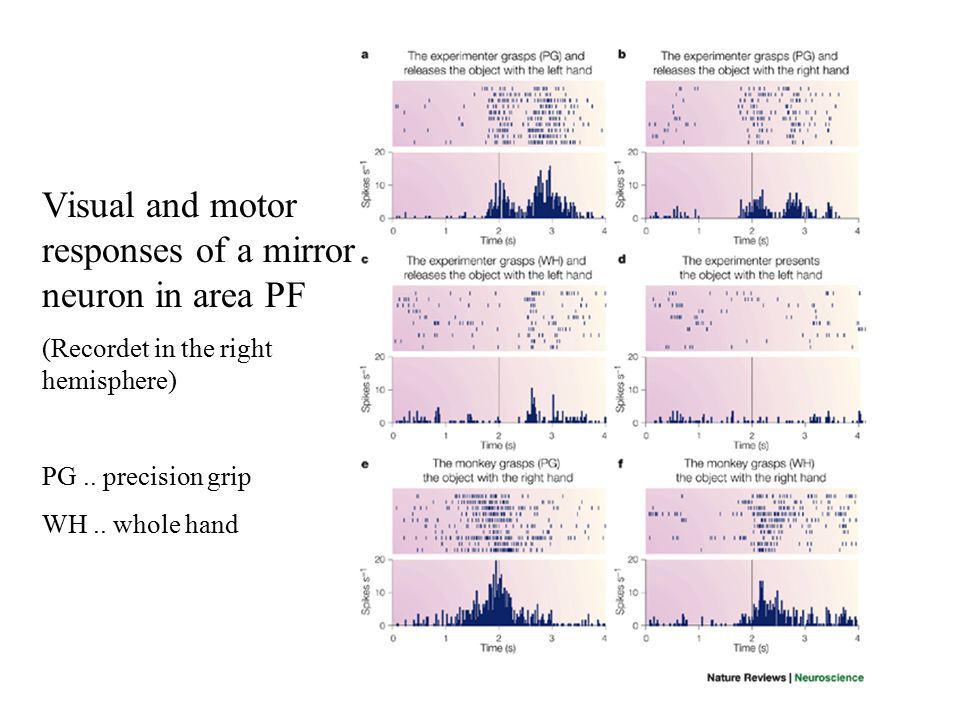 Visual and motor responses of a mirror neuron in area PF (Recordet in the right hemisphere) PG.. precision grip WH.. whole hand