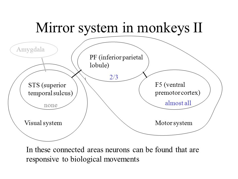Mirror system in monkeys II STS (superior temporal sulcus) PF (inferior parietal lobule) F5 (ventral premotor cortex) In these connected areas neurons