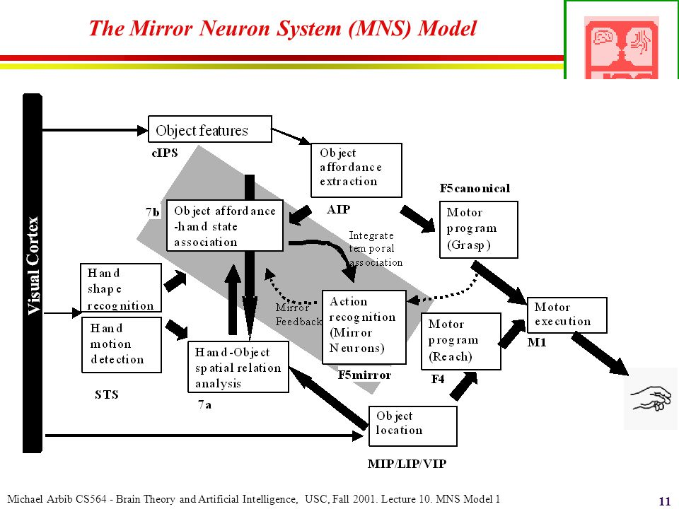 Michael Arbib CS564 - Brain Theory and Artificial Intelligence, USC, Fall 2001. Lecture 10. MNS Model 1 11 The Mirror Neuron System (MNS) Model