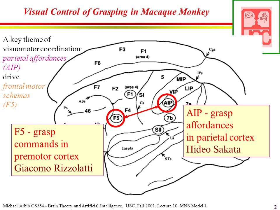 Michael Arbib CS564 - Brain Theory and Artificial Intelligence, USC, Fall 2001. Lecture 10. MNS Model 1 2 Visual Control of Grasping in Macaque Monkey