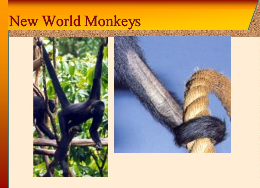 © 2002 by The McGraw-Hill Companies, Inc. All rights reserved. McGraw-Hill New World Monkeys