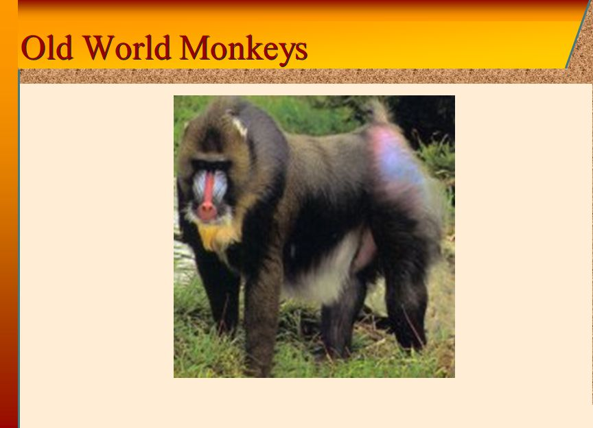 © 2002 by The McGraw-Hill Companies, Inc. All rights reserved. McGraw-Hill Old World Monkeys