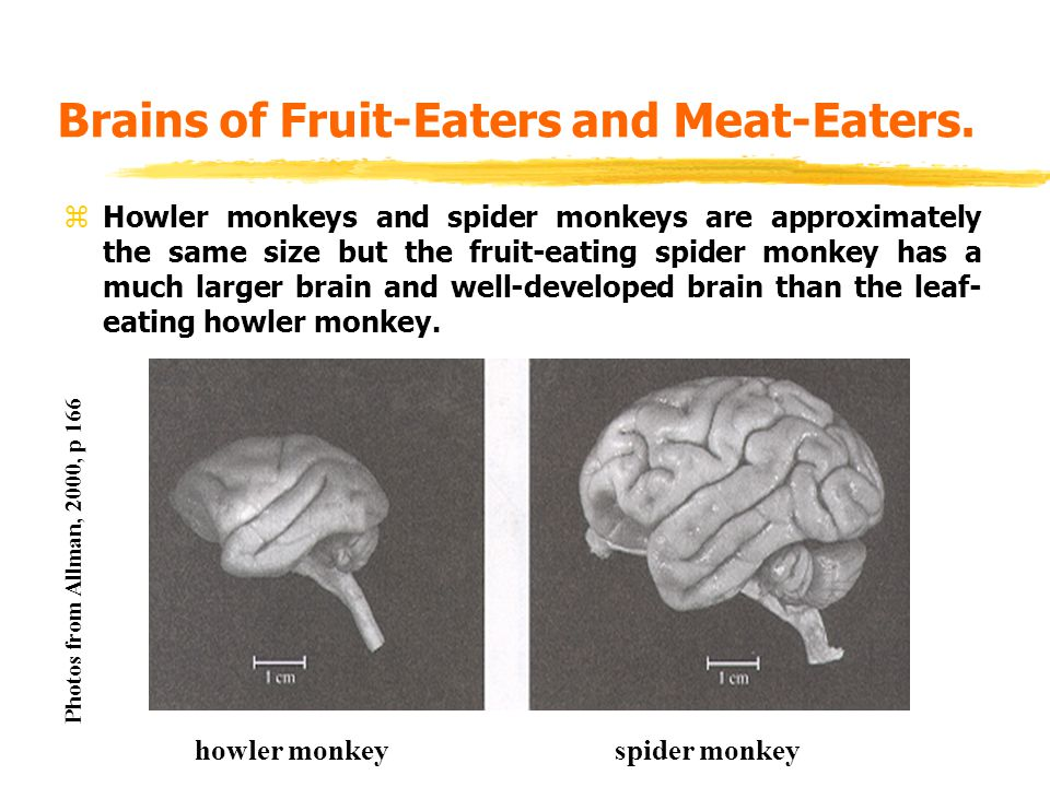 Brains of Fruit-Eaters and Meat-Eaters.